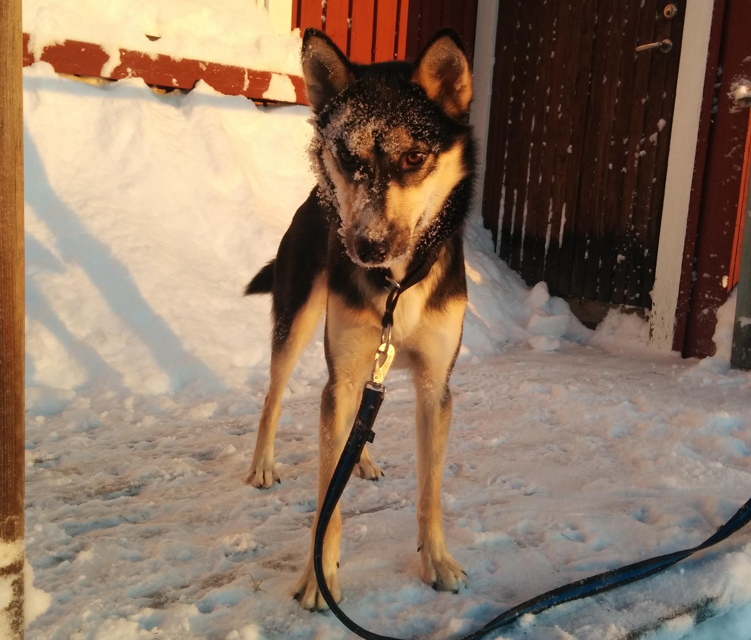Sisley älskar snön och vill gärna hjälpa till å skotta på sitt sätt!